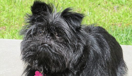 Affenpinscher training