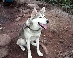 Hokkaido dog training