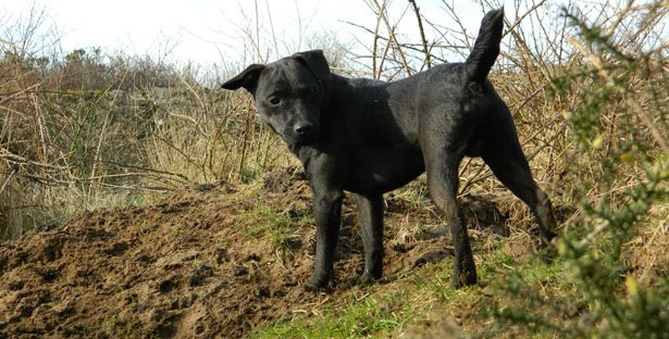 Patterdale Terrier training