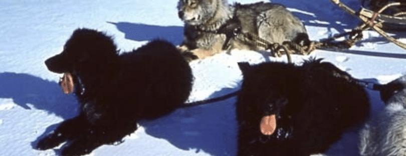 Sakhalin Husky training