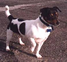Teddy Roosevelt Terrier training